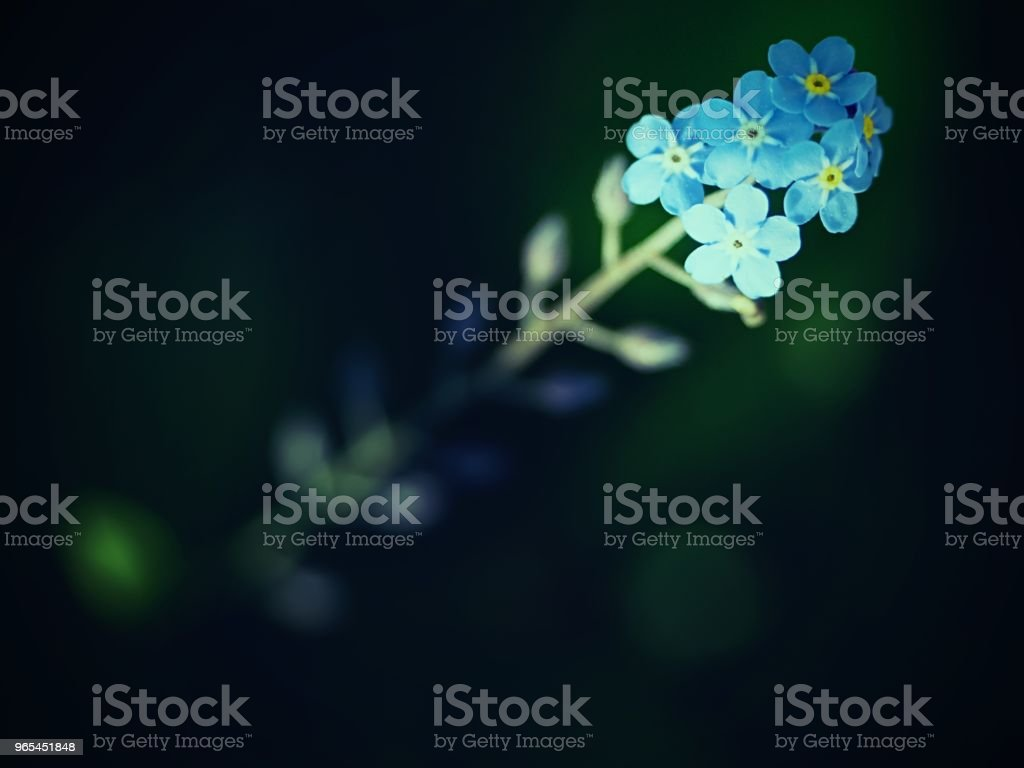 Wild forget-me-not flowers selective focus. Wild plant forgetmenot royalty-free stock photo