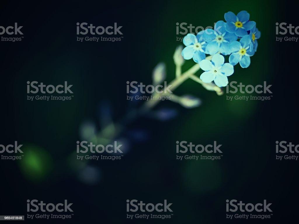 야생 물 망 초 꽃 선택적 초점입니다. 야생 식물 forgetmenot - 로열티 프리 과수원 스톡 사진