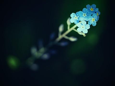 야생 물 망 초 꽃 선택적 초점입니다 야생 식물 Forgetmenot 과수원에 대한 스톡 사진 및 기타 이미지