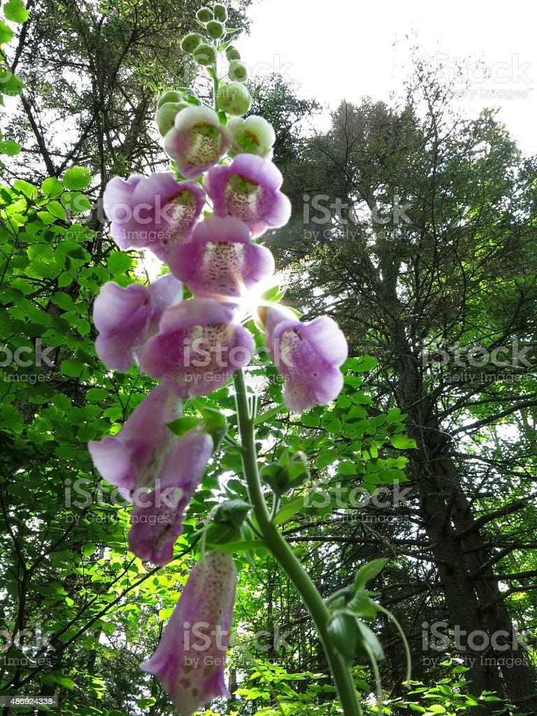 Wild Foxglove Flower Hurricane Mountaintrail Adirondacks New York