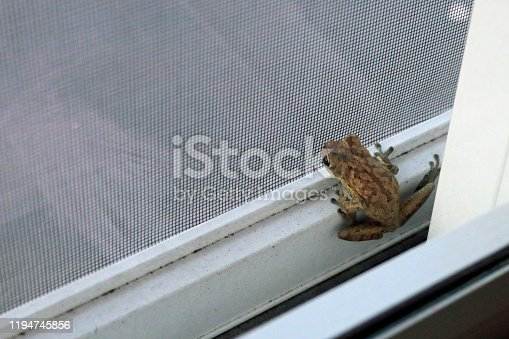 An early morning wild frog inside the screen door inside the glass sliding glass door. A small toad on the bottom frame of a patio screen sliding door outside a glass sliding home second floor door.
