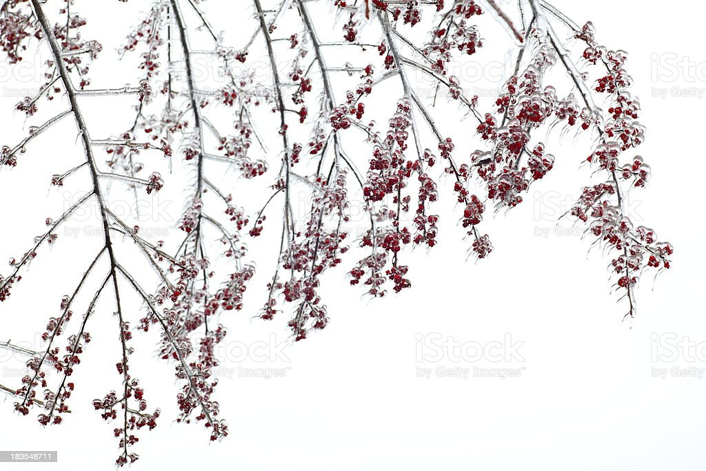 Wild fruit in the winter stock photo