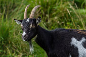 Goats are found in the Galloway forest in south west Scotland