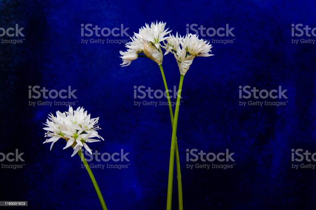 Wild garlic blossoms Series of vegetable blossms orchestrated in the studio Botany Stock Photo