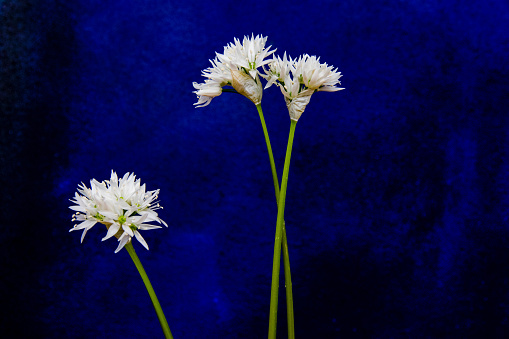 Wild Garlic Blossoms Stock Photo - Download Image Now