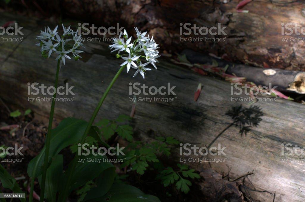Wild garlic flowers in full bloom close-up, Ramsons 免版稅 stock photo