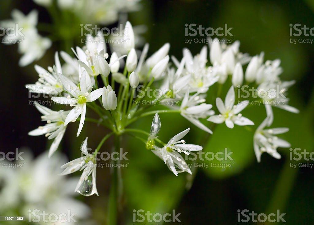 Wild Garlic flowers in Spring laden with dew stock photo