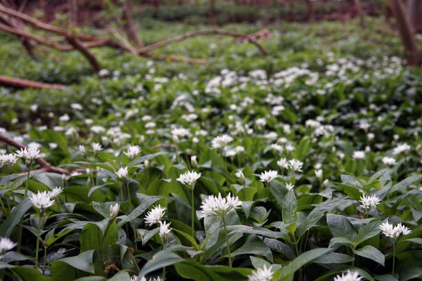 Wild Garlic Growing in woodland forest, Forage allium ursinum, Natural wild garlic growing in woodlands, England, Green and White foraging stock pictures, royalty-free photos & images