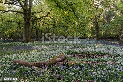 Wild Garlic display in an ancient Dorset Woodland, England.