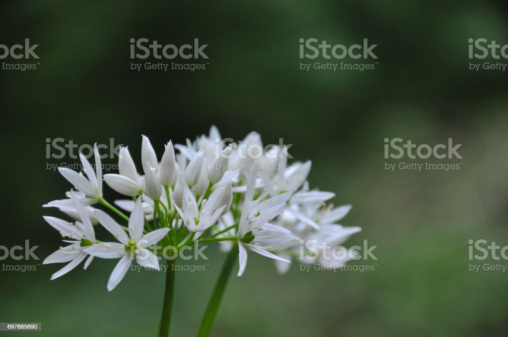 Wild garlic or bear garlic in bloom in forest in spring. stock photo