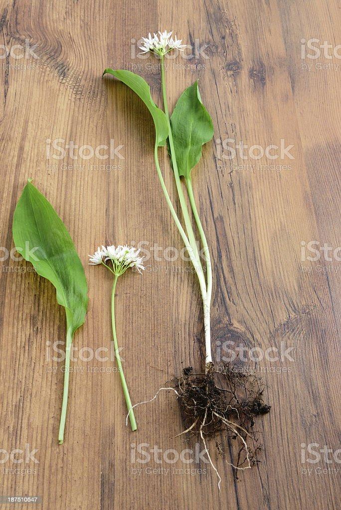 wild garlic (Allium ursinum) ramson stock photo