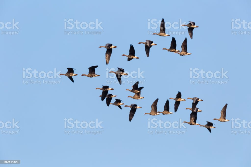 wild geese flying stock photo