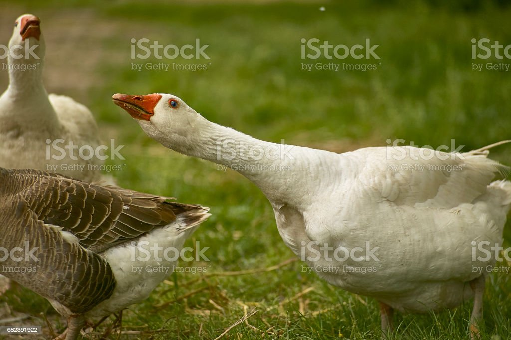 Wild geese in attack and defensive position royalty-free stock photo