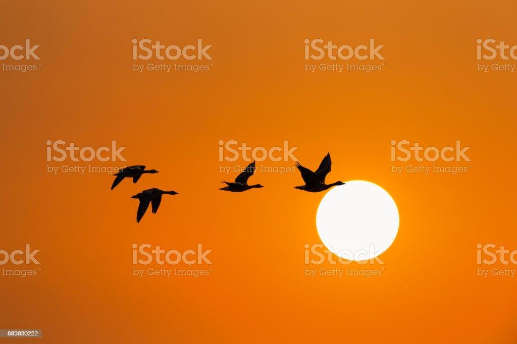 Wildgänse im Sonnenuntergang – Foto