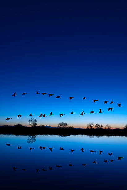 Wild Geese on a Blue Evening stock photo