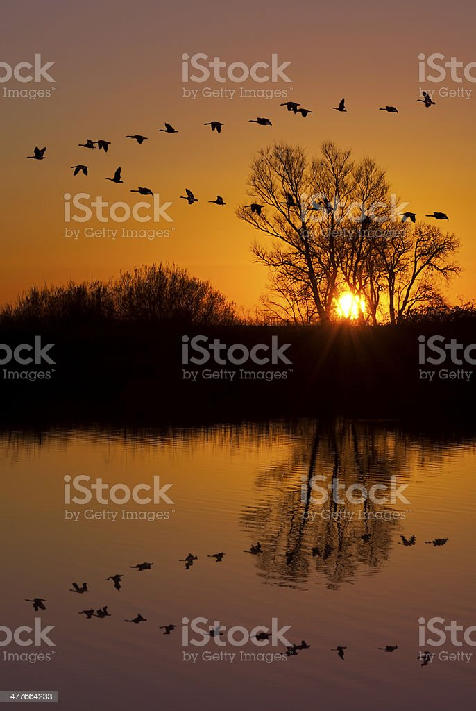 Oies sauvages sur un coucher de soleil Orange - Photo