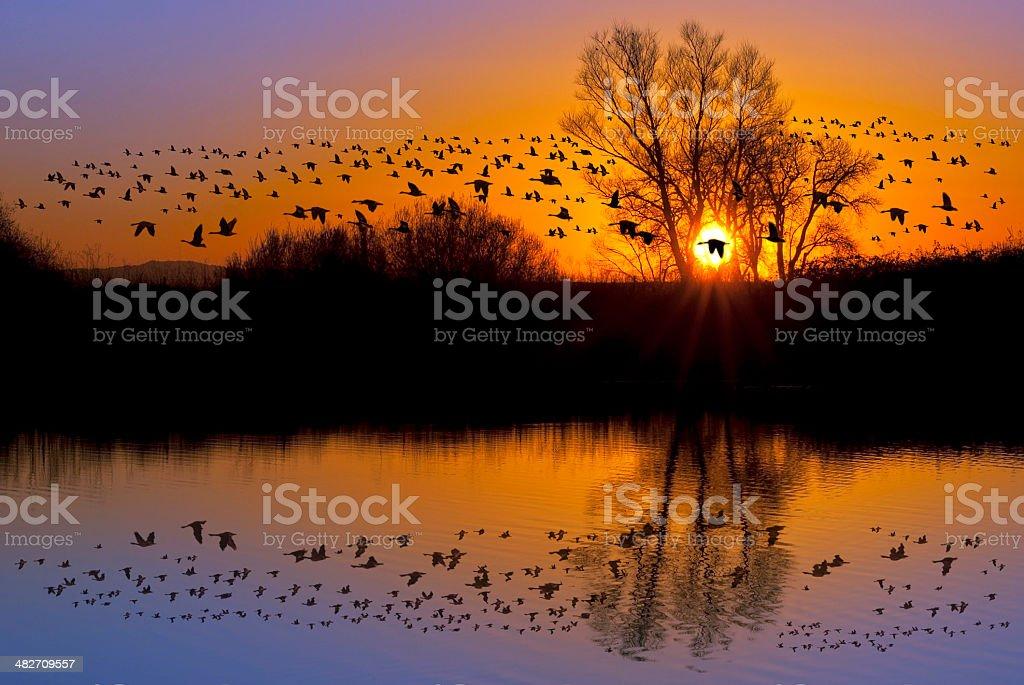 Wild Geese on an Orange Sunset stock photo