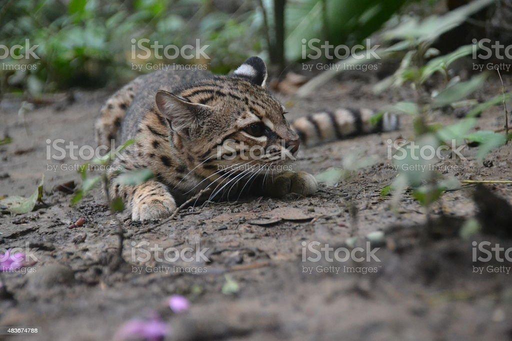 Wild Geoffroy's Cat prowling in Amazonian Rainforest, Bolivia.