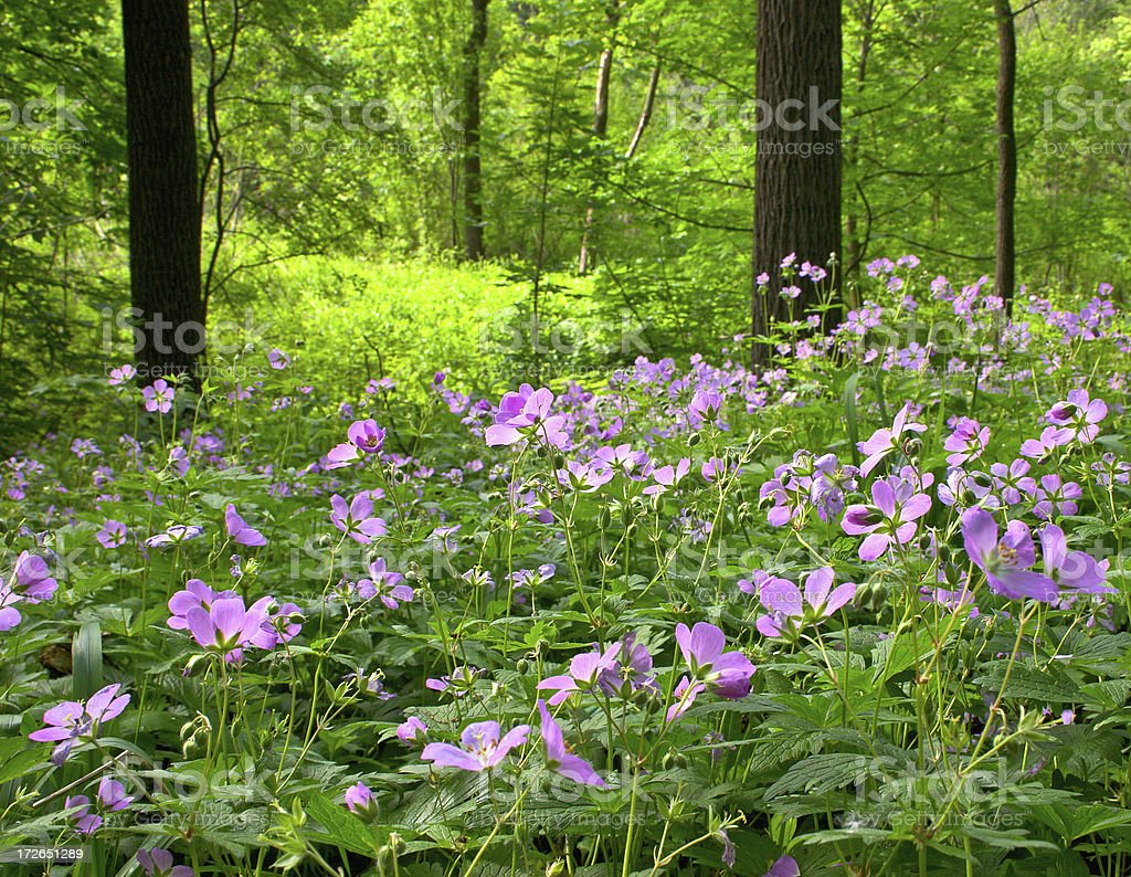 Wild Geranium Field royalty-free stock photo