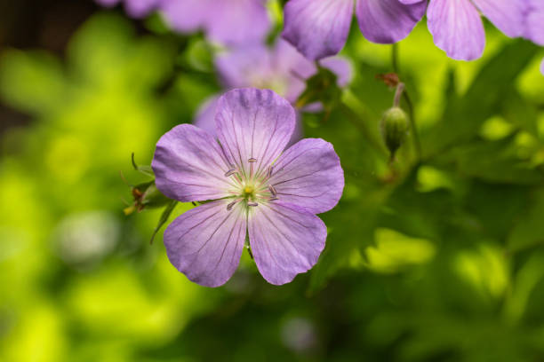 Wild Geranium Flower Smoky Mountains stock photo