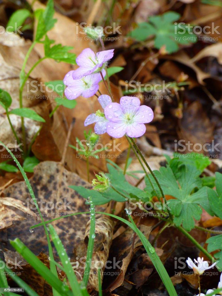 Wild Geranium (Geranium maculatum) in Bloom royalty-free stock photo