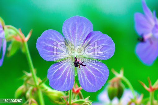 istock Wild geranium pratense purple flower growing in summer field, selective focus 1304205287