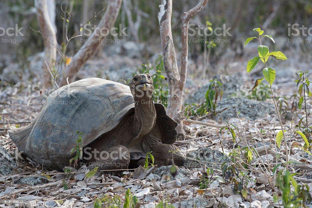 Wild giant tortoise on galapagos island stock photo