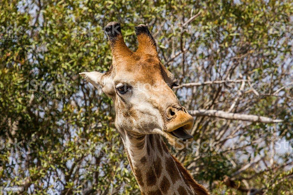 wild giraffe grimacing in the bush stock photo