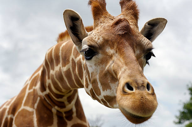 wild giraffe stretching head out against cloudy background - giraffe stock photos and pictures