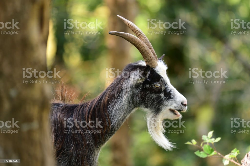 Wild goat in cheddar gorge stock photo