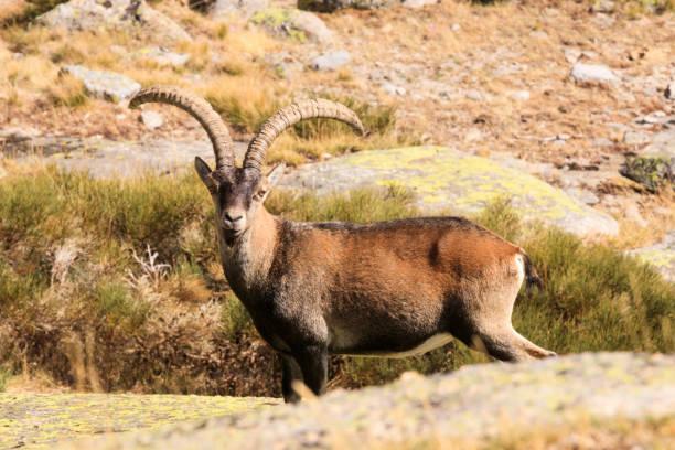 wilde ziege in gredos berg spanien - steinbock mann stock-fotos und bilder
