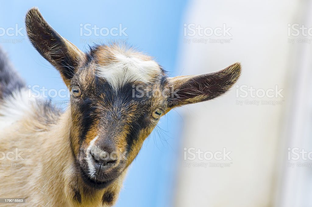 wild goat kid baby is looking at camera carefuly royalty-free stock photo