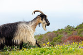 Wild goat walking above the mediterranean sea on the island of Corsica, France.