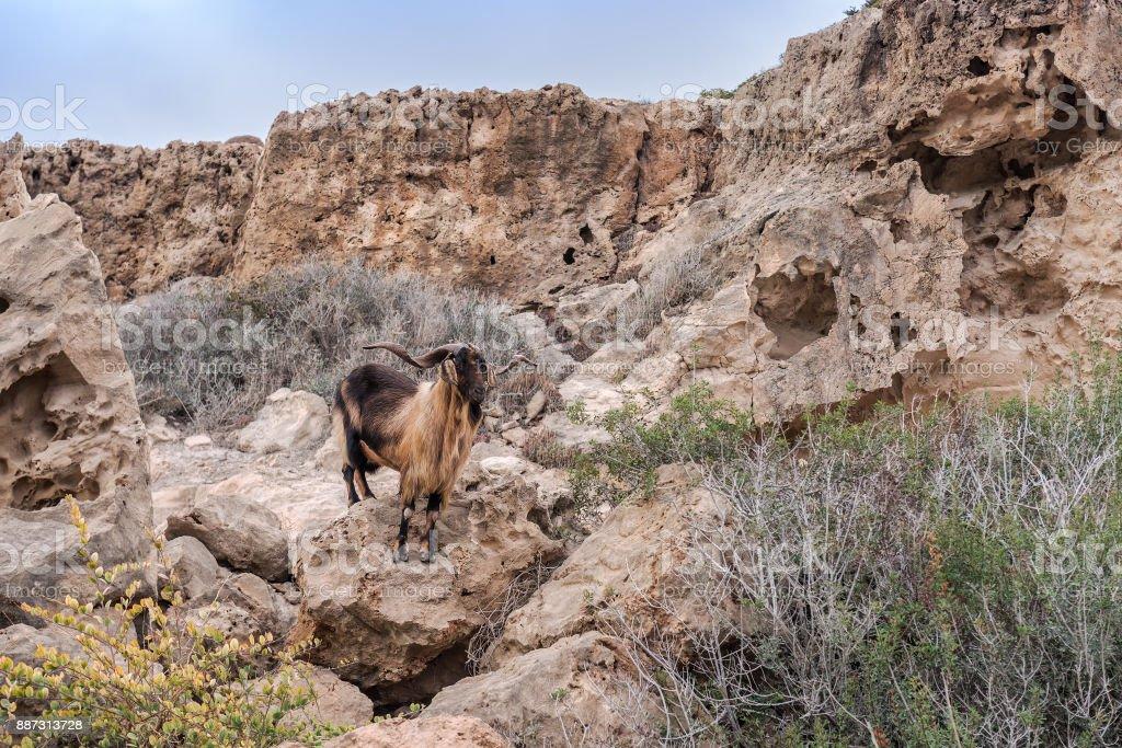 wild goat on the rock stock photo