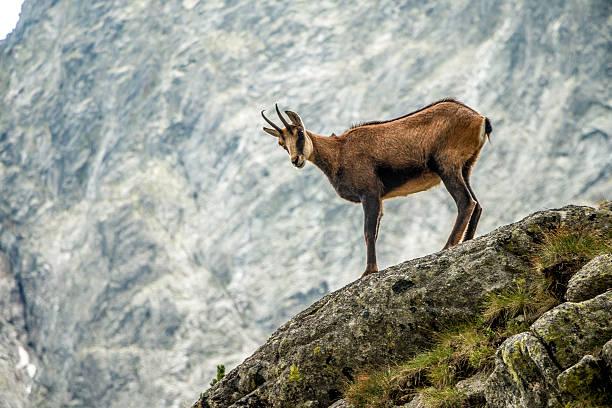 Wild goat (chamois) stock photo