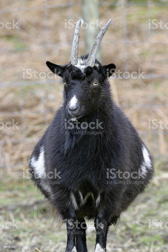 Wild Goat royalty-free stock photo