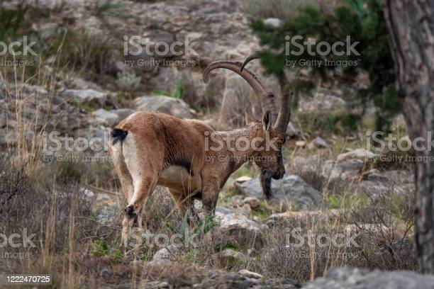 Photo of Wild Goat, Rocky Mountain Big horn Sheep male.