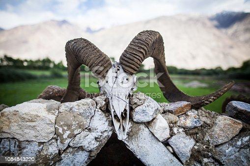 1151385192istockphoto Wild goat skull with horns 1084843220