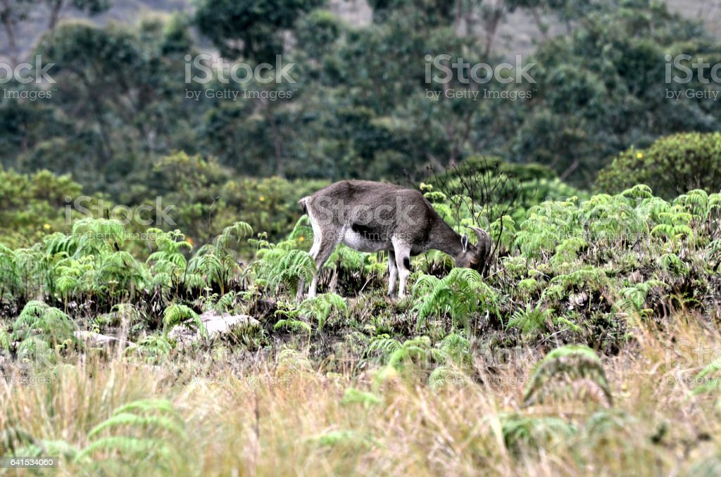 Wild goats found in the upper reaches of Munnar Hills in Kerala, India stock photo