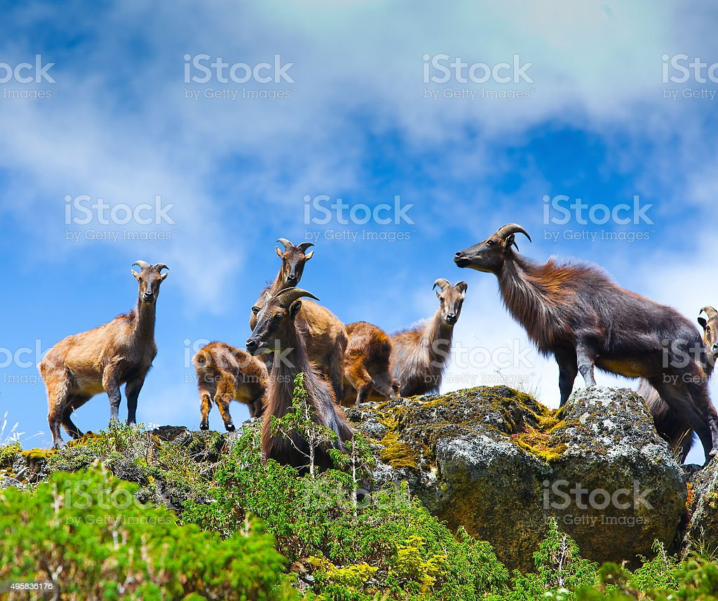 Wild goats in Himalaya mountains stock photo