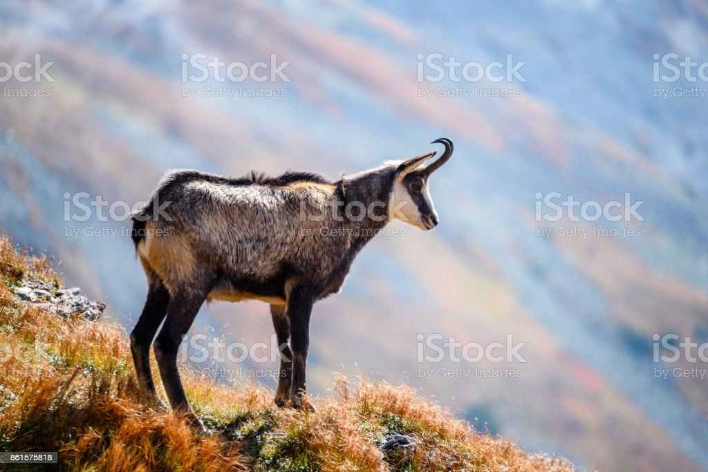 wild goats in the mountains stock photo