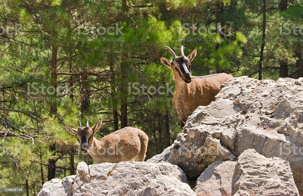 Wild goats kri-kri in Samaria Gorge. stock photo