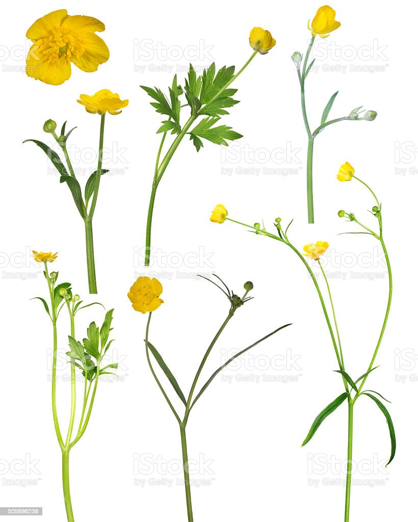 wild golden buttercup flower collection stock photo