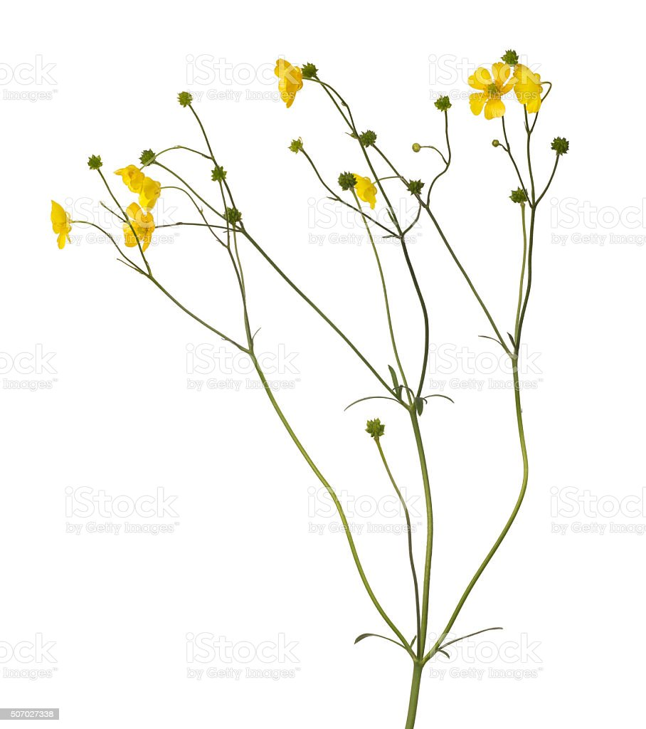 wild golden buttercup flower on whie stock photo