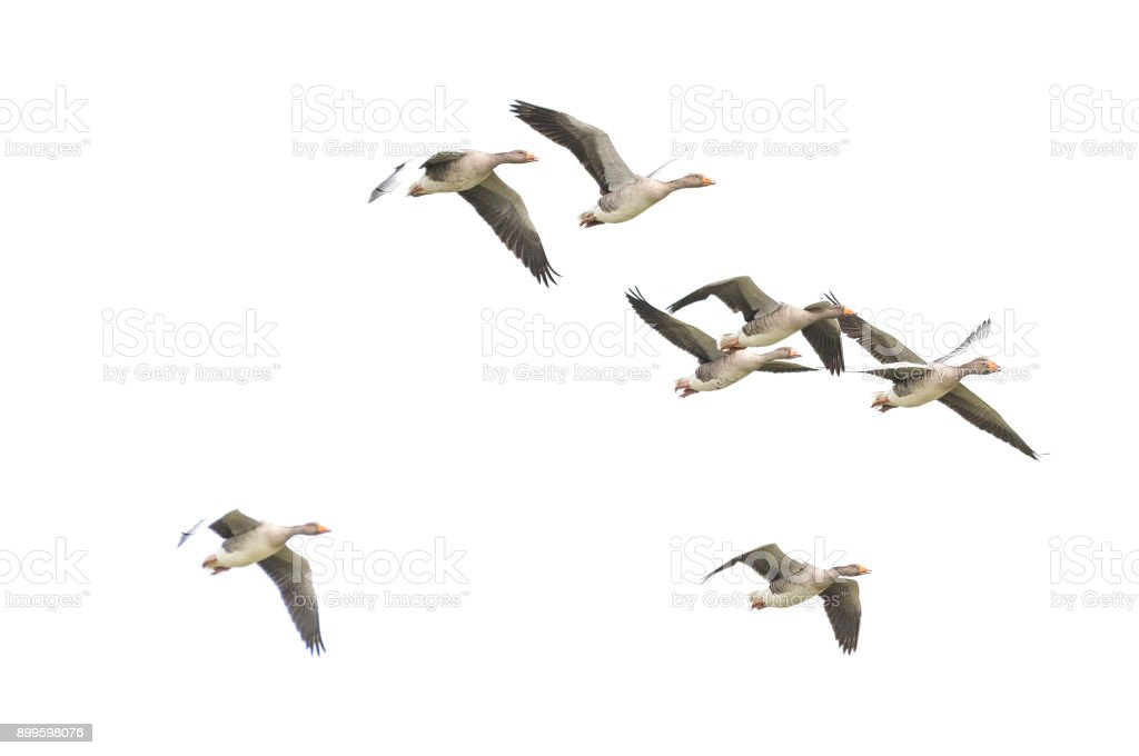 Wild Goose, Greylag Goose. The geese are migrating. Flying geese. stock photo