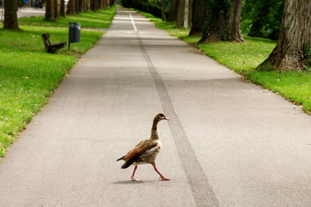 Eine wilde Gans wandert während der Selbstisolierung auf einem leeren Fußweg in einem öffentlichen Park. Nach der Ankunft des Coronavirus, wilde Tiere begann entosstatten in die Gebiete von Menschen besetzt – Foto