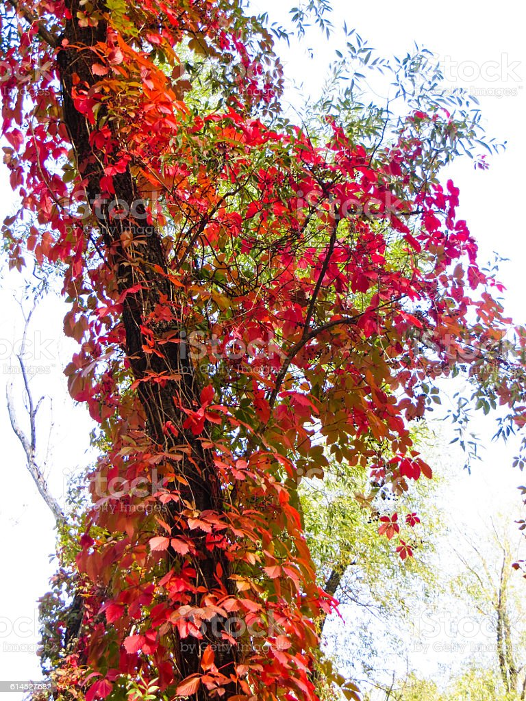 Wild grape (Virginia Creeper) on a trees in a forest stock photo