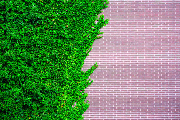 wild grape on the wall of an old building. garden wild grapes with autumn leaves on red brick wall. - ivy building imagens e fotografias de stock
