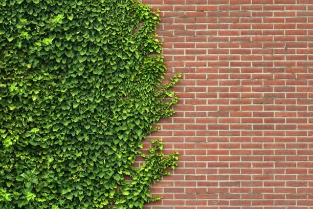 wild grape on the wall of an old building. - ivy building imagens e fotografias de stock