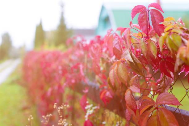 wilde trauben wachsen auf einem zaun - alu zaun stock-fotos und bilder